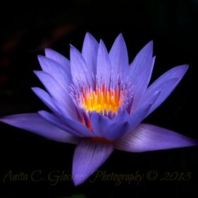 Water lily at Chattanooga Choo choo...