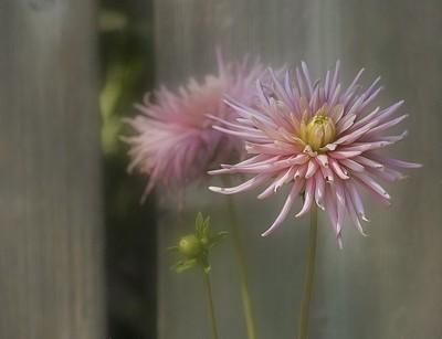 Pink Dahlia cactus rose