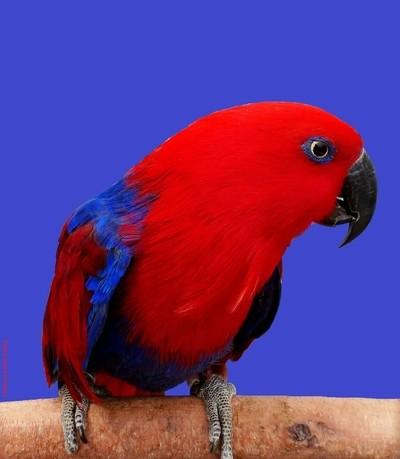 Ecletus roratus Female Parrot
