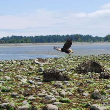 Bald Eagle flight over Parksville beach - May 15, 2014