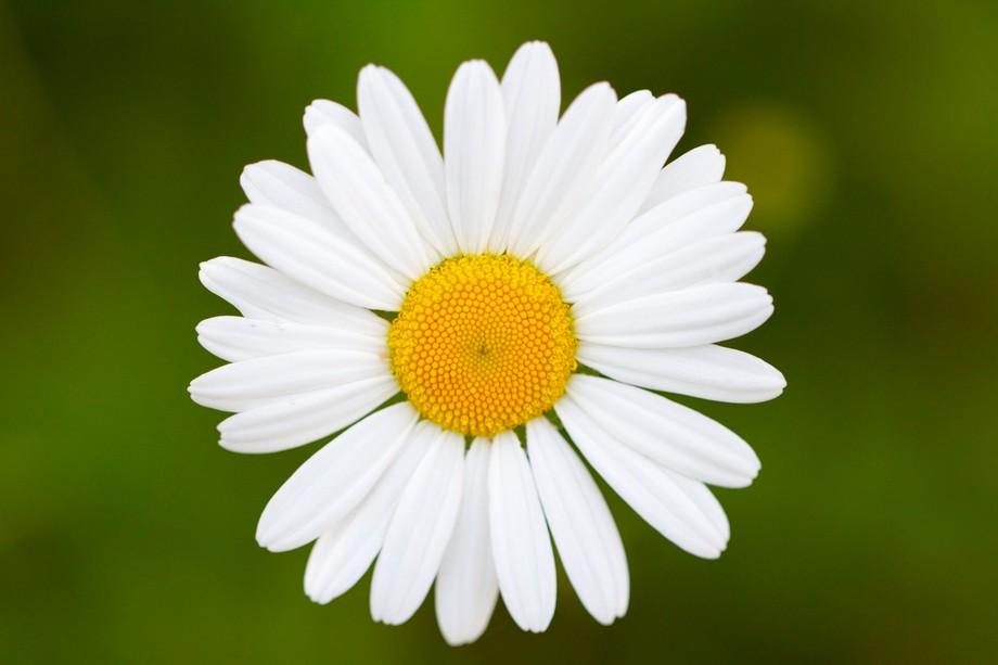White button Daisy