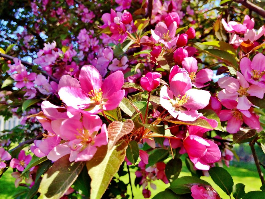 flowers from a crap apple tree
