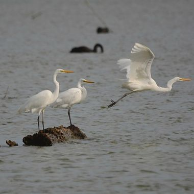 White Heron and Little Egret  copy
