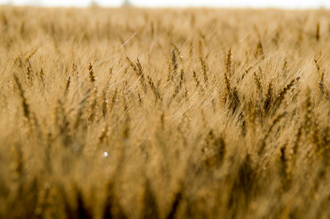 Wheat in the Wind by jenne - Rural Vistas Photo Contest