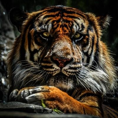 Tiger @ Jacksonville FL Zoo