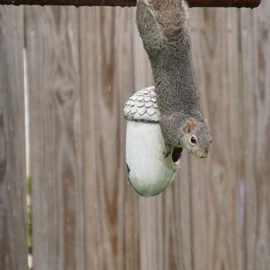 Hanging Squirrel