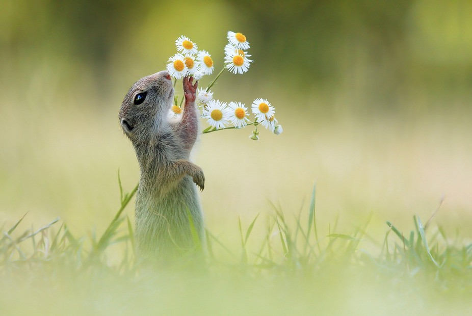 This picture shows an European Ground Squirrel smelling some Erigeron Buds, i took this picture i...