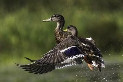 Ducks_9513copy copy