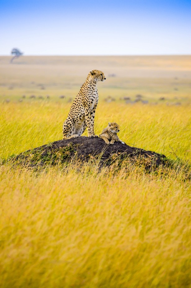 Cheetah and Cub by lonniewehunt - My Best Shot Photo Contest Vol 3
