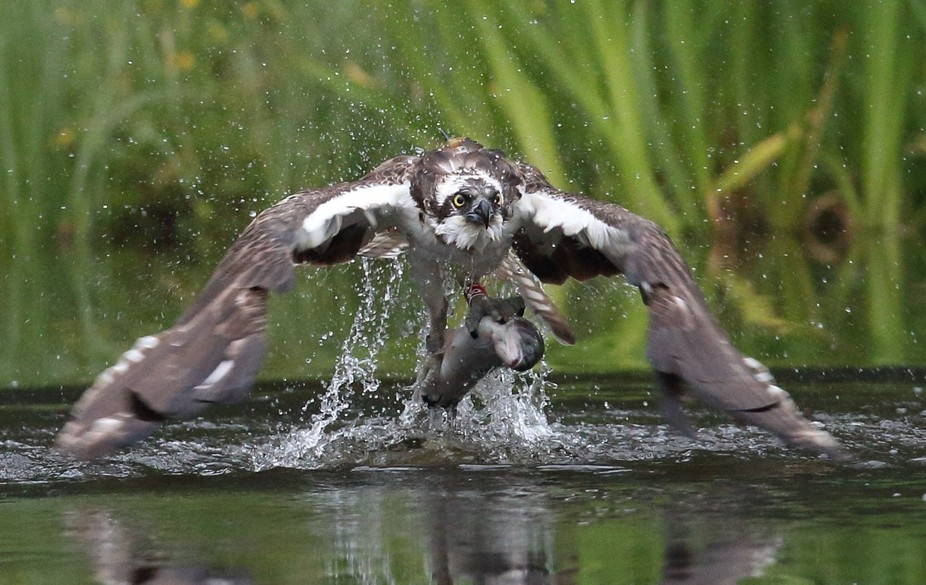 Osprey with breakfast. Picture taken at Aviemore Scotland