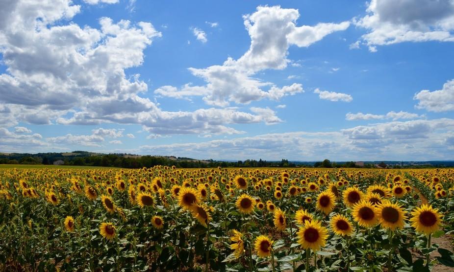 French Sunflower Fields