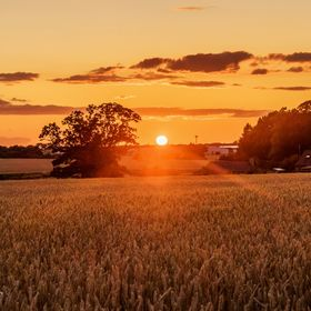 Sun setting on the fields of barley. Spent a while fiddling with shadows and highlights to get a mix I was happy with. Touch of sharpening and co...
