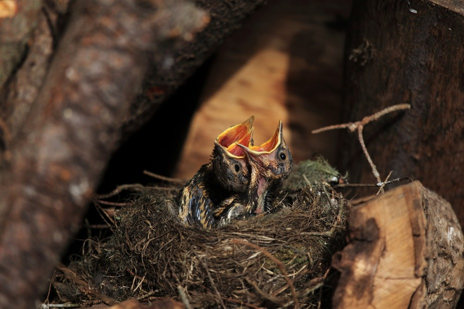 These baby song Thrushes become animated as they hear their mummy approach with food.