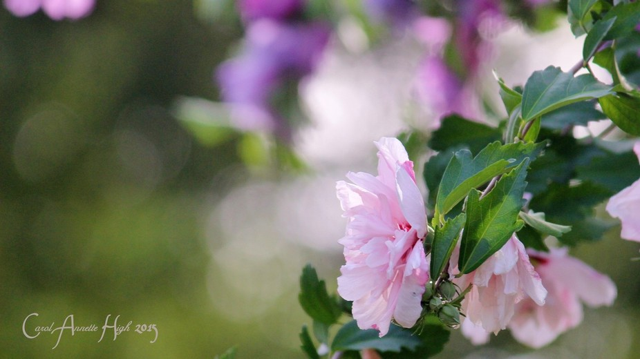 Althea - Rose of Sharon- Spring Glory