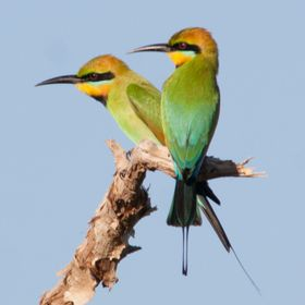 A pair of Rainbow bee Eaters, the bird with the longest tail is the male.