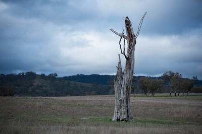 dead tree in a bare paddock
