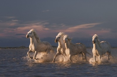 Angels_of_Camargue
