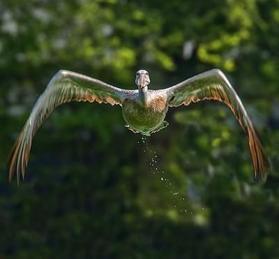 Pelican-flight