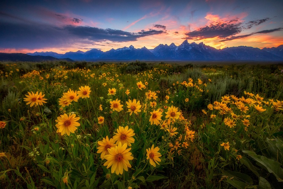 Sunset and the wild flowers in Grand Teton National Park