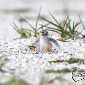 Least Tern Chick 2