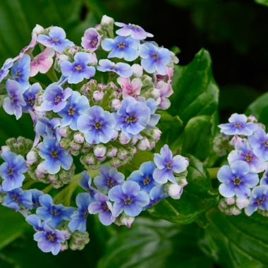 Chatham Island Forget me nots