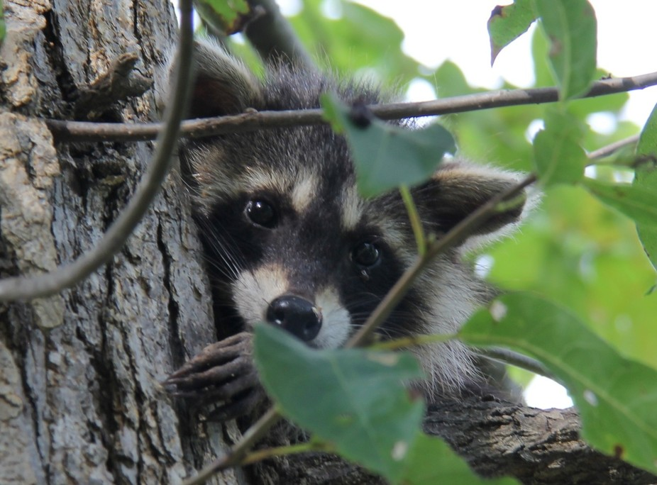 Found a bandit in the yard today; he doesn\'t look too dangerous.
