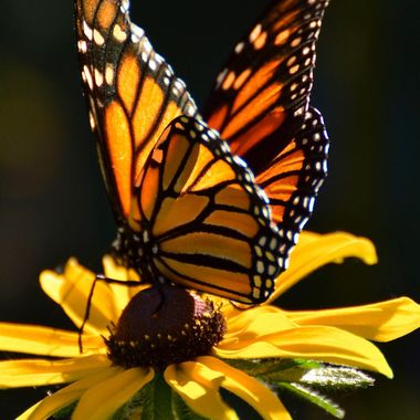 Monarch on Yellow daisy