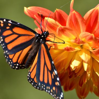 Monarch on Dalia