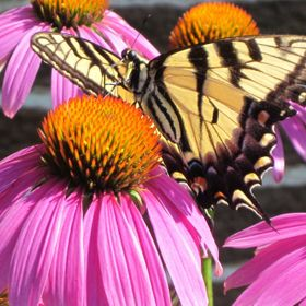 In my garden the Butterflies love the Cone Flowers.