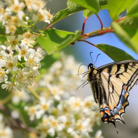 Profile shot of a swallowtail butterfly approaching flowers on a Canada red chokecherry tree.