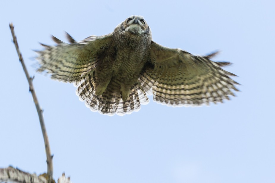 Baby Great horned owl just learning to fly.