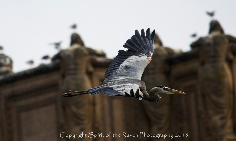 Sitting at the Palace of Fine Arts in San Francisco as this Great Blue Heron flew by, perfect tim...