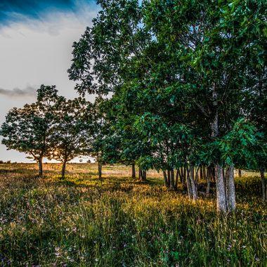Big Meadows Oaks