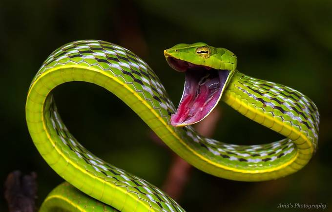Green Vine Snake by archowdhury - Snakes Photo Contest