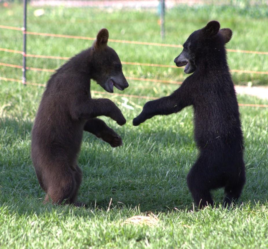 playing bears (2)