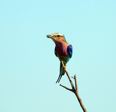 Lilac Crested Roller with lunch