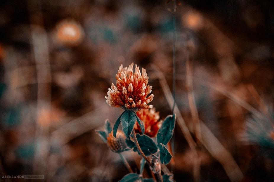 Flower clover