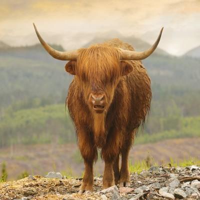 Highland Moo