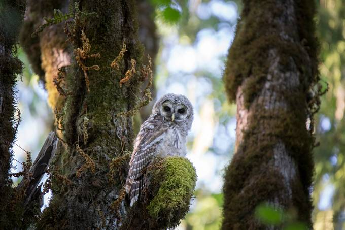 Baby Barred Owl by nikipike