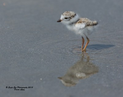 9-day old Piping Plover Chick - Hampton Beach State Park - Hampton, NH 07-12-15