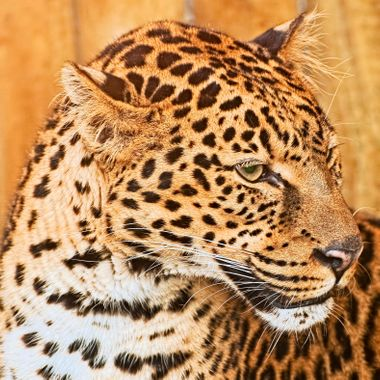 An Amur Leopard in Profile