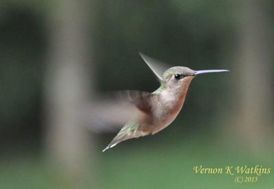 FemaleRubyThroatedHummingbird