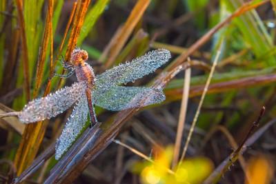 Dragonfly Dew