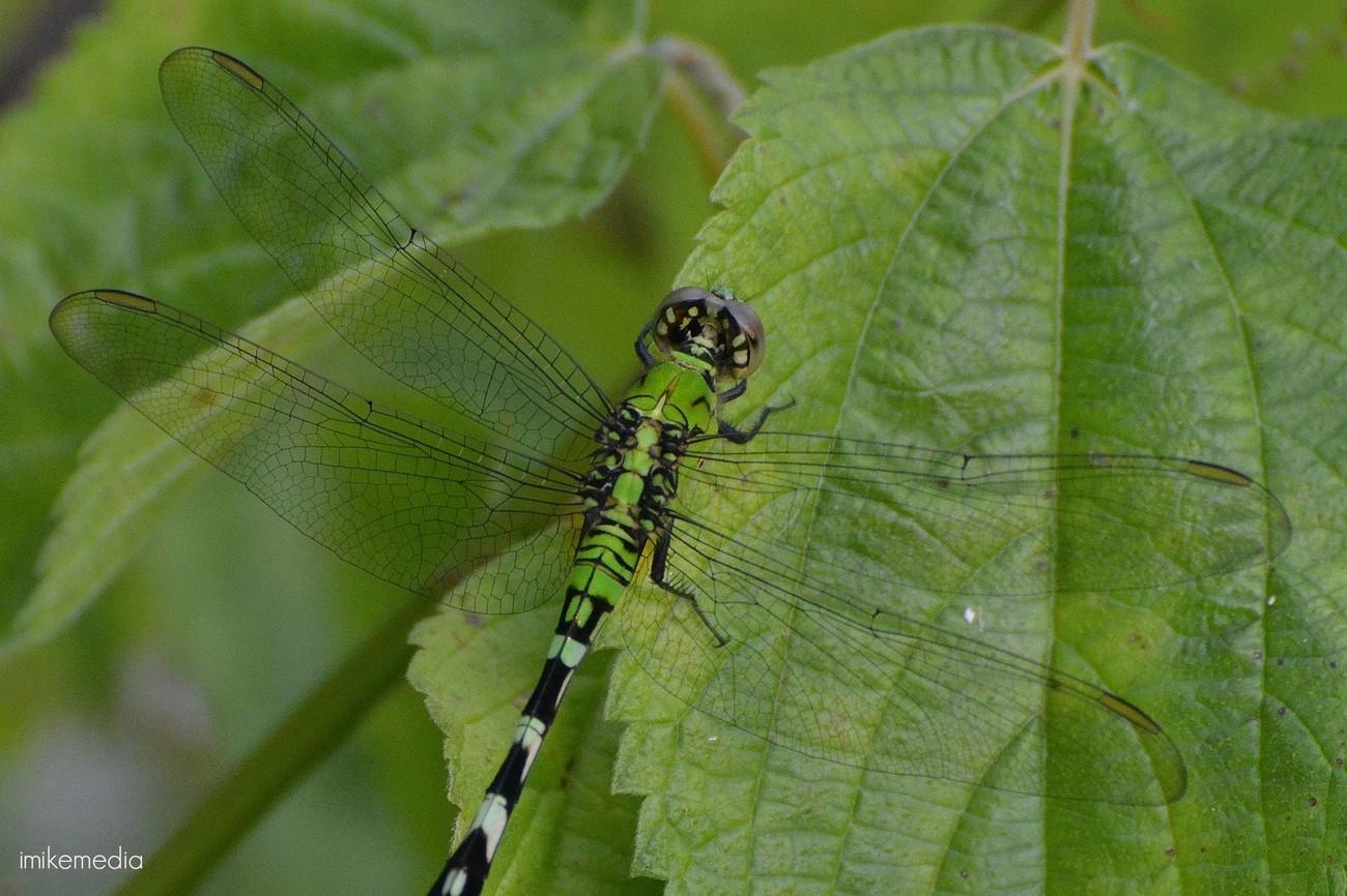 Green dragonfly - Poplar Bluff, MO (2015)