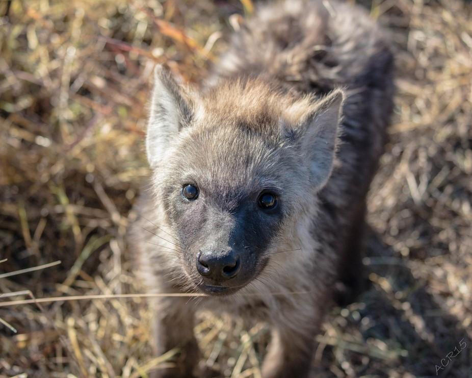 Curious - Hyena Cub