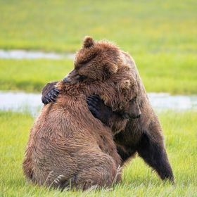 Who doesn't need a good bear hug every now and then.  We caught these siblings in action while visiting Hallo Bay in Alaska. These two had been b...