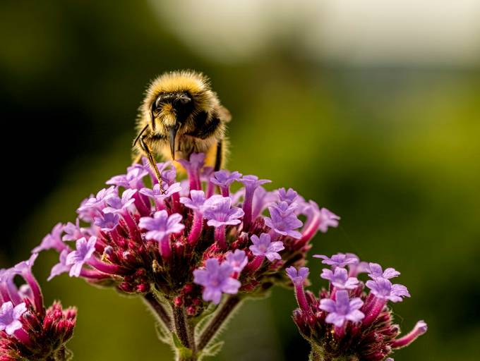 Foraging Bee by snowdon - Shallow Depth Of Field Photo Contest