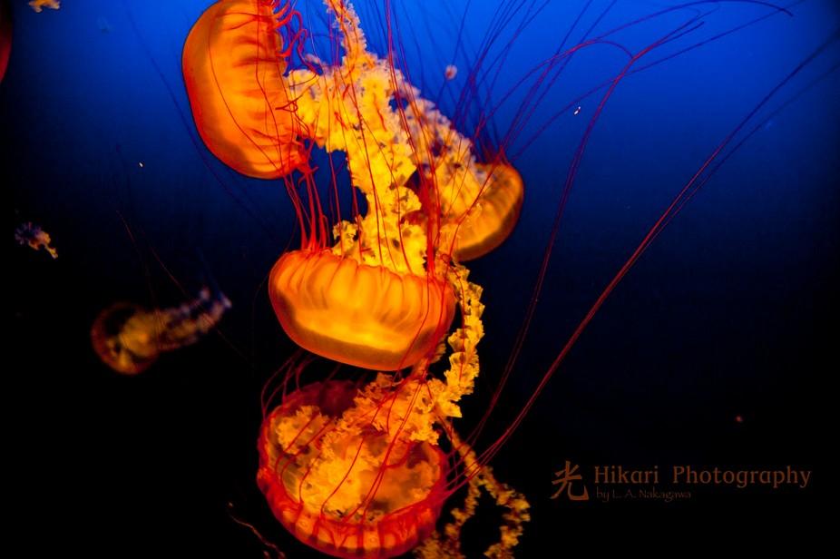 Jelly Fish, Henry Dorley Zoo, Omaha, NE #2