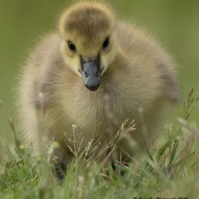 Canada Geese Goslings can be so adorable.  This was the only Gosling this year.  The same two birds come back each year... usually they have many...