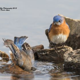 Bath time for a female Eastern Bluebird, with a Male EABL watching her - PSNH Boat Ramp - Bow, NH 02-18-15